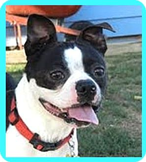 Boston Terrier Mix Dog for adoption in North Augusta, South Carolina - Pepper