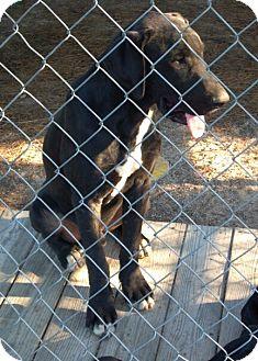 Great Dane/Labrador Retriever Mix Puppy for adoption in Brooklyn, New York - Franklin