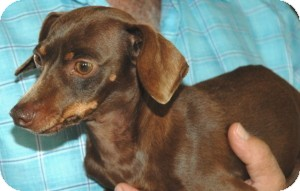 Dachshund/Chihuahua Mix Dog for adoption in Gaffney, South Carolina - Chicklet