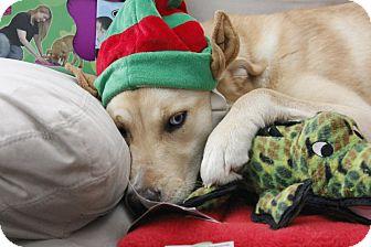Labrador Retriever/Husky Mix Dog for adoption in Douglas, Ontario - Sky