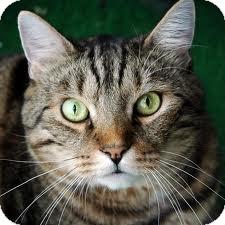 Domestic Shorthair Cat for adoption in Lancaster, Massachusetts - Gwen