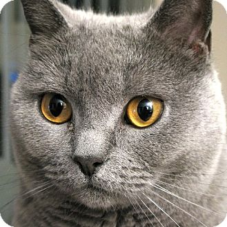 Chartreux Cat for adoption in Toronto, Ontario - Satine