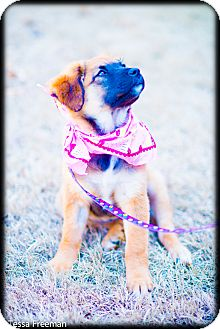 Anatolian Shepherd/Rottweiler Mix Puppy for adoption in Muldrow, Oklahoma - Scout