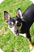 Miniature Pinscher Dog for adoption in Nashville, Tennessee - Roscoe