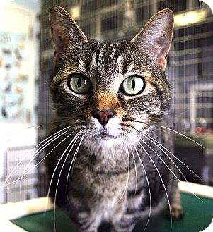 Domestic Shorthair Cat for adoption in Manahawkin, New Jersey - Kitty Love
