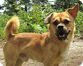 Pekingese/Jack Russell Terrier Mix Dog for adoption in Forked River, New Jersey - Pugsley