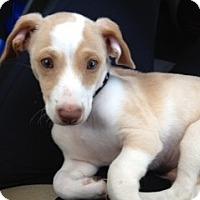 Adopt A Pet :: Caramelo - Miami, FL