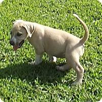 Adopt A Pet :: Amber - Danbury, CT