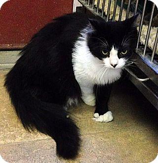 Domestic Longhair Cat for adoption in Albion, New York - Lamar