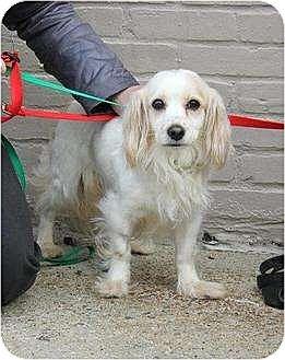 Cavalier King Charles Spaniel/Cocker Spaniel Mix Dog for adoption in Flushing, New York - Vanilla
