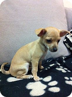 Chihuahua/Terrier (Unknown Type, Small) Mix Puppy for adoption in Encino, California - Thelma - Suzie Pup
