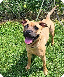 Mastiff/Boxer Mix Puppy for adoption in Flint, Michigan - Marube - Adopted