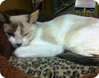 Domestic Shorthair Cat for adoption in Lake Elsinore, California - Fancy