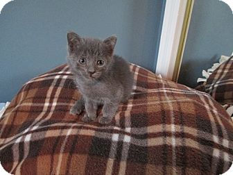 Domestic Shorthair Kitten for adoption in North Plainfield, New Jersey - Teddy
