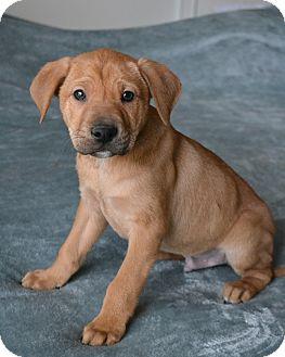 Labrador Retriever/Golden Retriever Mix Puppy for adoption in Allentown, Pennsylvania - Abner