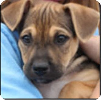 German Shepherd Dog/American Staffordshire Terrier Mix Puppy for adoption in Bloomington, Illinois - Errol