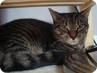 Domestic Shorthair Cat for adoption in Blackstock, Ontario - Houdini