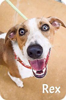 Whippet Mix Dog for adoption in DFW, Texas - Rex