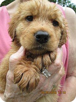 Golden Retriever/Rottweiler Mix Puppy for adoption in South Burlington, Vermont - Autumn