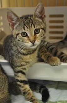 Domestic Shorthair Kitten for adoption in Pompano Beach, Florida - Victoria