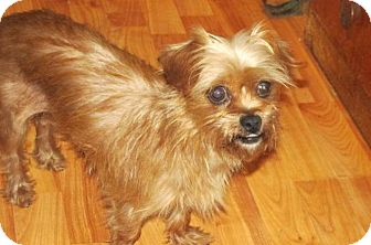 Yorkie, Yorkshire Terrier/Shih Tzu Mix Dog for adoption in Rocky Mount, North Carolina - Opal