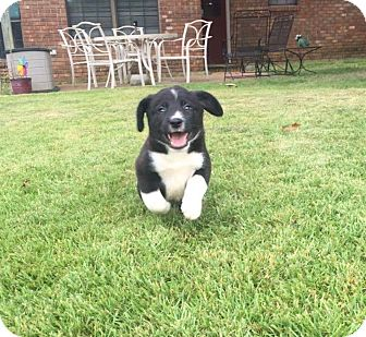Border Collie Mix Puppy for adoption in Colmar, Pennsylvania - Nikko