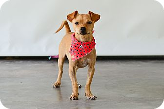 Chihuahua Mix Dog for adoption in Vancouver, British Columbia - Keeper