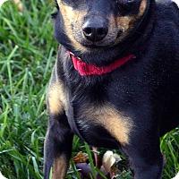 Adopt A Pet :: Rocco-ADOPTION PENDING - Bridgeton, MO