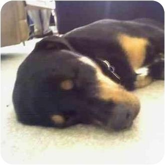 Labrador Retriever/Rottweiler Mix Dog for adoption in El Segundo, California - Beatrix