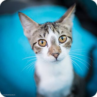 Domestic Shorthair Kitten for adoption in East Hartford, Connecticut - Max (in CT)