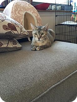 Domestic Shorthair Cat for adoption in Edgewater, New Jersey - Lucy
