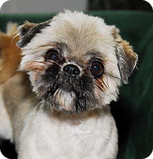Shih Tzu Mix Dog for adoption in Antioch, California - Susie