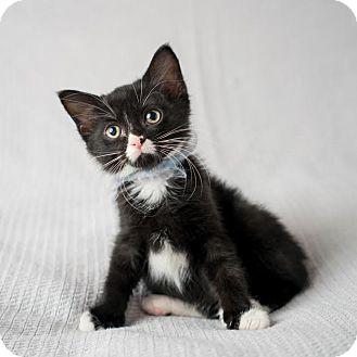 Domestic Shorthair Kitten for adoption in Columbia, Illinois - Eddy