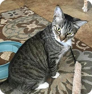 Domestic Shorthair Cat for adoption in Glendale, Arizona - Pitty Pat *CH/Lease For Life*
