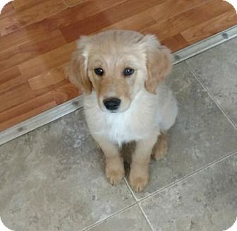 Retriever (Unknown Type) Mix Puppy for adoption in Wallops Island, Virginia - Bo