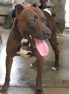 Labrador Retriever/Pit Bull Terrier Mix Dog for adoption in Rutledge, Tennessee - Java