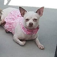 Chihuahua Mix Dog for adoption in San Diego, California - Pinky