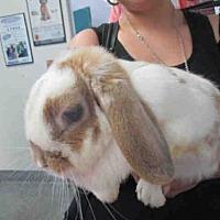 Adopt A Pet :: BUTTERSCOTCH - Goleta, CA