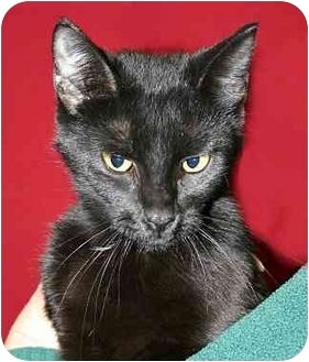 Domestic Shorthair Cat for adoption in Ladysmith, Wisconsin - Farrah
