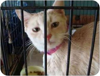 Domestic Shorthair Cat for adoption in Arkadelphia, Arkansas - Peaches