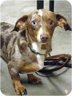Dachshund Dog for adoption in Quail Valley, California - Buddy