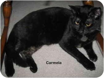 Domestic Shorthair Cat for adoption in Portland, Oregon - Carmela