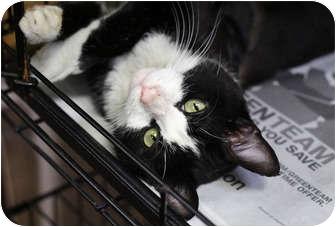 Domestic Shorthair Cat for adoption in Brooklyn, New York - Flea