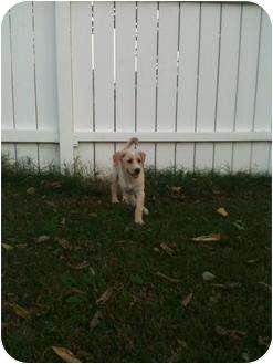 Labrador Retriever Mix Puppy for adoption in Williston, Vermont - Pebbles