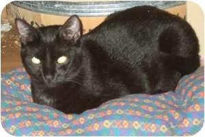 Domestic Shorthair Cat for adoption in Fort Lauderdale, Florida - Ridge