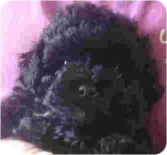 Shih Tzu/Poodle (Toy or Tea Cup) Mix Puppy for adoption in Manassas, Virginia - Todd