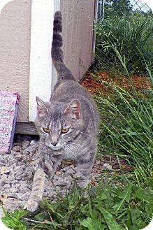 Domestic Shorthair Cat for adoption in Sullivan, Missouri - Grace