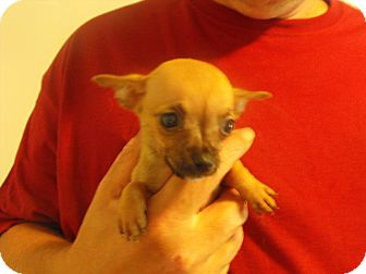 Chihuahua/Chihuahua Mix Puppy for adoption in Wilminton, Delaware - Falon