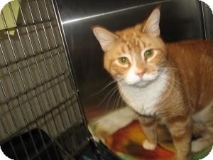Domestic Shorthair Cat for adoption in Chambersburg, Pennsylvania - Chong