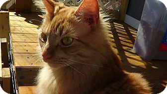 Norwegian Forest Cat Cat for adoption in Bedford, Virginia - Applejack